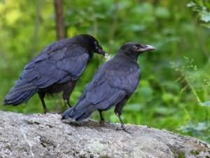 ant tvoros sėdi trys juodos varnos)