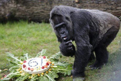 gorila prekiauja pasirinkimo galimybėmis)